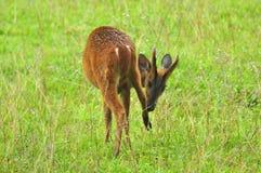 Ciervos de descortezamiento en el parque nacional de Khao Yai Fotos de archivo libres de regalías