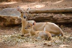 Ciervos de Eld Fotografía de archivo