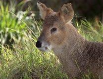 Ciervos de Fanged Fotografía de archivo