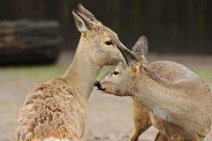 Ciervos de huevas Fotos de archivo libres de regalías