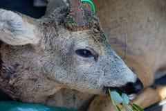 Ciervos de huevas Foto de archivo libre de regalías