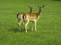 Ciervos de huevas Imagen de archivo libre de regalías