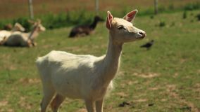 Ciervos de HUEVAS blancos que pastan en hierba verde almacen de video