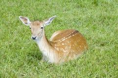 Ciervos de huevas - capreolus del Capreolus Fotografía de archivo libre de regalías