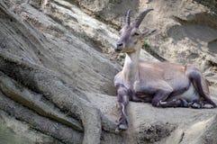 Ciervos de huevas, capreolus del Capreolus Fotografía de archivo libre de regalías