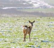 Ciervos de huevas (capreolus del Capreolus) Foto de archivo