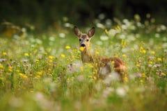 Ciervos de huevas, capreolus del Capreolus, masticando las hojas verdes, prado floreciente hermoso con muchas flores y animal bla Foto de archivo