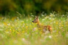 Ciervos de huevas, capreolus del Capreolus, masticando las hojas verdes, prado floreciente hermoso con muchas flores y animal bla Fotos de archivo libres de regalías