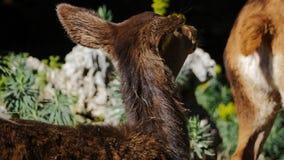 Ciervos de huevas del bebé en el bosque metrajes