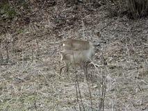 Ciervos de huevas en bosque fotografía de archivo