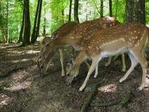 Ciervos de huevas en bosque Fotografía de archivo libre de regalías