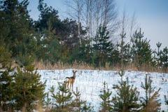 Ciervos de huevas en bosque foto de archivo