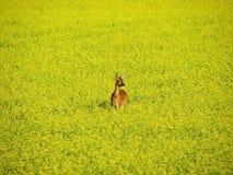 Ciervos de huevas en campo amarillo Fotografía de archivo