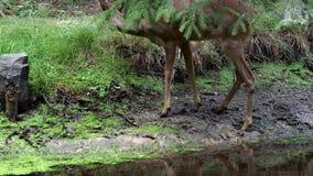 Ciervos de huevas en el bosque, capreolus del Capreolus almacen de metraje de vídeo