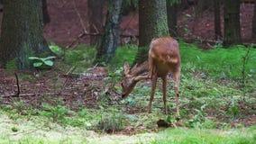 Ciervos de huevas en el bosque, capreolus del Capreolus Ciervos de huevas salvajes en naturaleza metrajes
