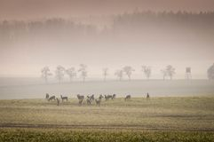 Ciervos de huevas en el prado con el bosque brumoso Foto de archivo libre de regalías
