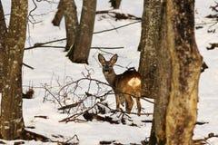 Ciervos de huevas en hábitat natural del invierno Foto de archivo libre de regalías