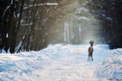 Ciervos de huevas en invierno Foto de archivo libre de regalías