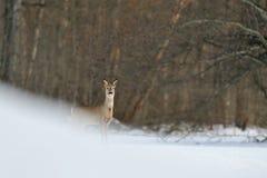 Ciervos de huevas en invierno Fotos de archivo