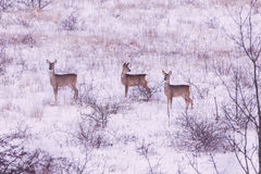 Ciervos de huevas en invierno Imagen de archivo libre de regalías