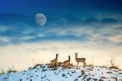 Ciervos de huevas en la colina foto de archivo libre de regalías