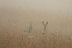 Ciervos de huevas en la niebla de la mañana Imagen de archivo libre de regalías