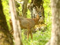 Ciervos de huevas en los viejos lus del ³ del capreà de los lus del ³ de Capreà del bosque Imagenes de archivo