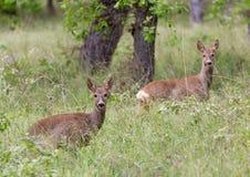 Ciervos de huevas en un bosque Imagen de archivo libre de regalías