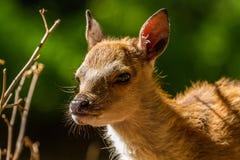 Ciervos de huevas en Wildpark Neuhaus Imagenes de archivo
