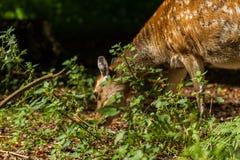 Ciervos de huevas en Wildpark Neuhaus Fotos de archivo libres de regalías