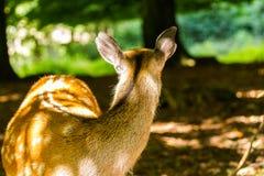 Ciervos de huevas en Wildpark Neuhaus Fotos de archivo