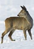 Ciervos de huevas europeos (capreolus del Capreolus) fotos de archivo libres de regalías