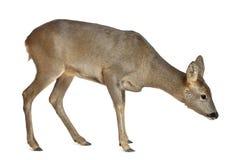 Ciervos de huevas europeos, capreolus del Capreolus Imagen de archivo libre de regalías