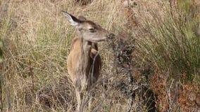 Ciervos de huevas europeos femeninos en el ¼ e, España de Monfragà de la reserva de naturaleza almacen de video