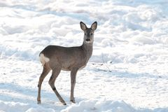 Ciervos de huevas jovenes en el bosque, estación del invierno Imagen de archivo