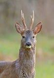 Ciervos de huevas masculinos   foto de archivo libre de regalías