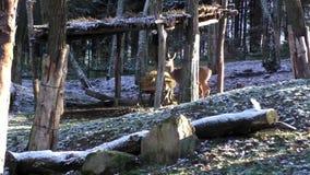 Ciervos de huevas que buscan la comida en el primer día nevoso metrajes