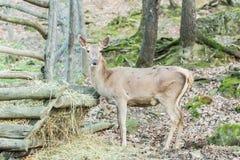 Ciervos de huevas que comen el heno Imagenes de archivo