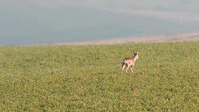 Ciervos de huevas que pastan en el campo almacen de video