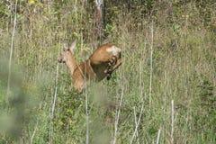 Ciervos de huevas que se escapan del fotógrafo Fotografía de archivo libre de regalías