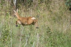 Ciervos de huevas que se escapan del fotógrafo Imagenes de archivo