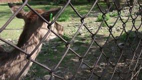 Ciervos de huevas que son alimentados adentro el parque zoológico metrajes