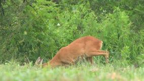 Ciervos de huevas salvajes, colocándose en un campo y buscando para la comida metrajes