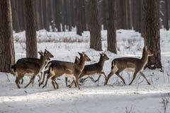 Ciervos de huevas salvajes en el bosque nevado del invierno, región de Kyiv de la reserva, Ucrania Foto de archivo libre de regalías
