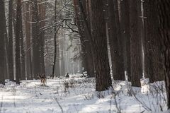 Ciervos de huevas salvajes en el bosque nevado del invierno, región de Kyiv de la reserva, Ucrania Imagen de archivo libre de regalías