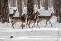Ciervos de huevas salvajes en el bosque nevado del invierno, región de Kyiv de la reserva, Ucrania Fotos de archivo libres de regalías