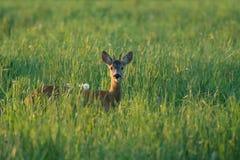Ciervos de huevas salvajes en verano fotografía de archivo