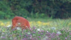 Ciervos de huevas salvajes, pastando en un campo metrajes