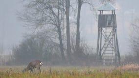 Ciervos de huevas salvajes que pastan en un campo almacen de metraje de vídeo