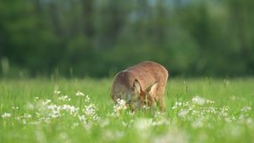 Ciervos de huevas salvajes todavía que se colocan en alarma en un campo durante estación de primavera almacen de video
